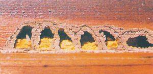 Rödmurarbi-celler med pollen och larver