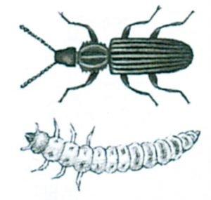 Sågtandad plattbagg och larv