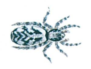 Sebraspindel