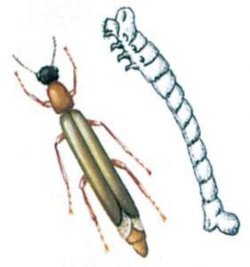 Skeppsvarvsfluga och larv