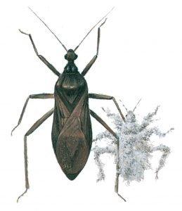 Smutsstinkfly och dess larv