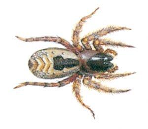 Spindel - Ciniflo fenestralis