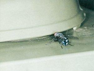 Spyfluga i avfallsbehållare