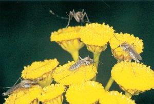 Stickmygg som suger nektar