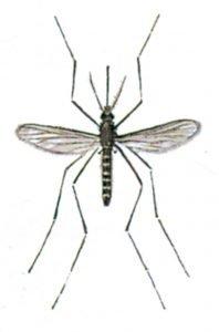 Stickmygga