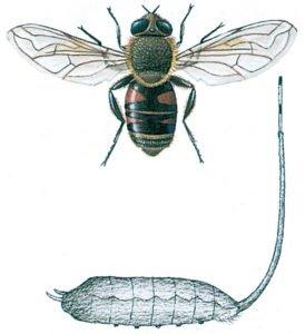 Storslamflugans och larv