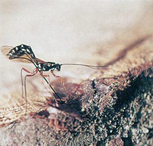 Svart parasitstekel borrar sig in i en trästekel