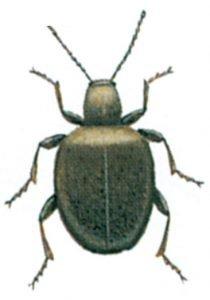 Tjuvbagge, Sphaericus gibbioides