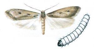Trepunkterad skräpmal och larv