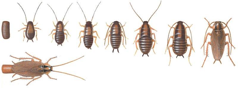 Tysk kackerlacka, utveckling