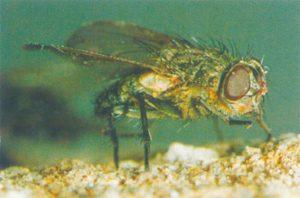 Vindsflugor känns igen på sina gyllene hår