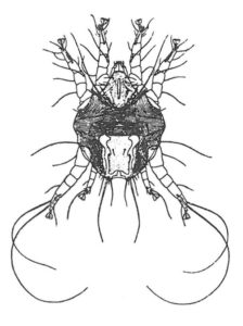 Öronskabb, Otodectes cynotis. (av Vitzthum)