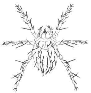 Lårkvalsterlarv i ett mikroskåp. (av Rack)