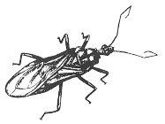 Smutsstinkfly