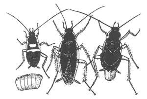 Äggkapsel, unge, brunbandad kackerlackshane och hona.