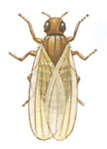 Bananfluga, Drosophila spp.