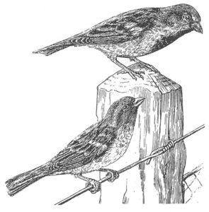 Gråsparv - Hona och hane