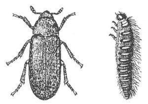 Husänger, vuxen och larv