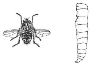 Husfluga, vuxen och larv