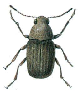 Kaffevivel, Araeocerus fasciculatus