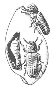 Kapuschongbaggar med larve i kärna