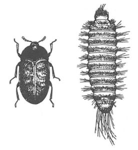 Khaprabagge, vuxen och larv