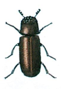 Kornkapucineren, Rhyzopertha dominica