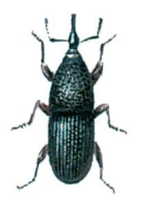 Kornvivel, Sitophilus granarius