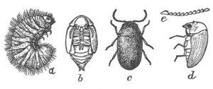 Tobaksbagge, a: larv, b: puppa, c: vuxen, d: sedd från sidan, e: antenner.