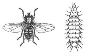 Liten husfluga, vuxen och larv