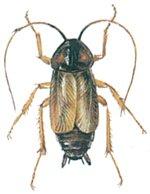 Livcykeln hos orientalisk kackerlacka