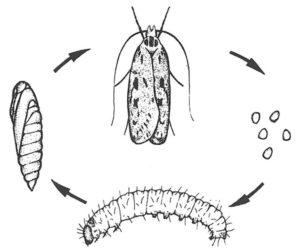 Frömott. Vuxen, ägg, larv och puppa.