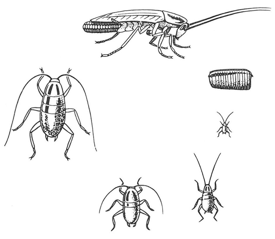 Ofullständig utveckling hos tysk kackerlacka