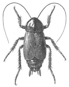 Orientalisk kackerlacka - hane