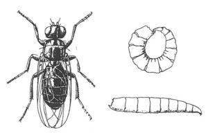Ostfluga, vuxen och larver