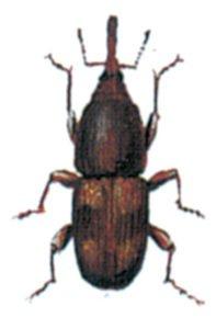 Risvivel, Sitophilus oryzae