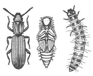 Sågtandad plattbagge som vuxen, puppa och larv