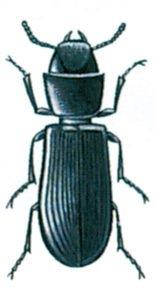 Spannmålsgnagare, Tenebroides mauritanicuss