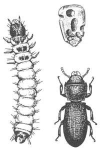 Spannmålsgnagare (larv och vuxen), samt ett urgnagt majskorn.