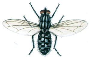 Stor köttfluga, Sarcophaga carnaria