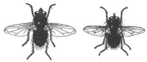 Calliphora sp. till vänster och Lucilia sp. till höger.