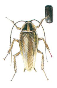 Tysk kackerlacka, hona med äggkapsel