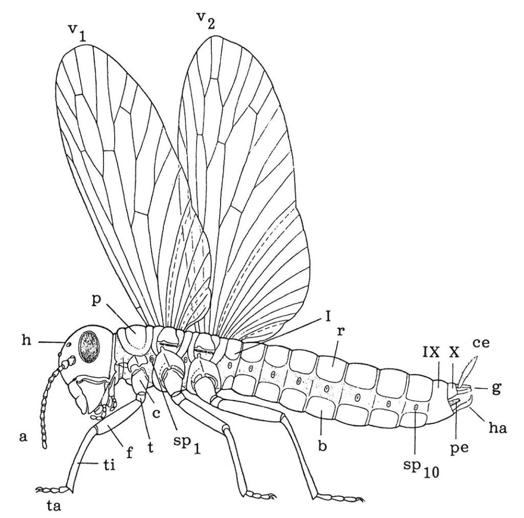 Vingade insekters uppbyggnad