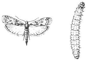 Vuxen kvarnmott och larv